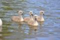 Картинка озеро, малыши, kids, the lake, gray swans, серые лебеди