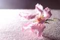 Картинка цветок, поверхность, розовый, лепестки