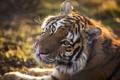 Картинка свет, хищник, тигр, взгляд