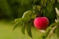 Картинка лето, яблоко, фрукт