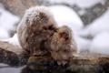 Картинка природа, фон, Japan, Nagano, Snow monkey