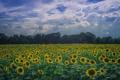 Картинка поле, небо, облака, деревья, подсолнухи, поле подсолнухов