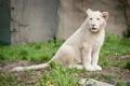 Картинка кошка, трава, детёныш, котёнок, львёнок, белый лев
