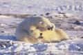 Картинка Арктика, polar bears, белые медведи