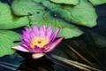 Картинка цветок, пруд, лилия, водяная, Chi Lin Nunnery, Diamond Hill, Water Lilies