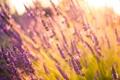Картинка лето, цветы, лаванды