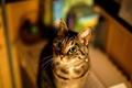 Картинка кошка, глаза, кот, уши