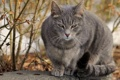 Картинка осень, кот, серый, сидит