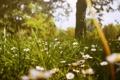 Картинка зелень, трава, цветы, ромашки, белые