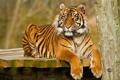 Картинка кошка, взгляд, тигр