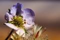 Картинка цветок, макро, сиреневый, солнечно