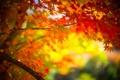 Картинка осень, листья, дерево, ветка, клен