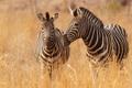 Картинка трава, саванна, зебры