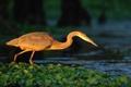 Картинка птица, река, кувшинки
