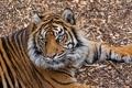 Картинка дикая кошка, полоски, тигр, морда, отдых, лапы, хищник