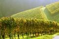 Картинка вверх, плантации, виноградники, полдень, угор