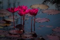 Картинка цветы, пруд, лотос, Coastal Georgia Botanical Garden