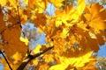 Картинка осень, желтый, клен