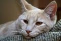 Картинка кошка, кот, лежит, cat, карие глаза
