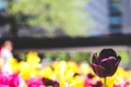 Картинка цветок, лепестки, тюльпан