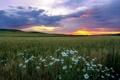 Картинка закат, пейзаж, поле, ромашки