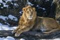 Картинка снег, хищник, лев, царь зверей, дикая кошка