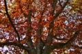 Картинка осень, дерево, дуб, Oakfall
