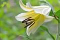 Картинка цветок, капельки, лилия, бутон