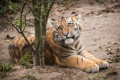 Картинка кошка, трава, взгляд, ветки, тигр, котёнок, тигрёнок