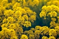 Картинка цветы, желтые, мелкие
