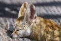 Картинка сон, лиса, профиль, морда, ©Tambako The Jaguar, фенек, лисица
