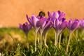 Картинка пчела, весна, крокусы