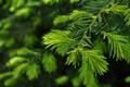 Картинка природа, ветка, close up, green pine