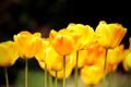 Картинка природа, весна, желтые, тюльпаны