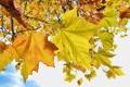 Картинка осень, небо, листья, дерево, клен