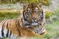 Картинка взгляд, хищник, Суматранский тигр