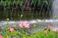 Картинка листья, фонтан, лотос, лепестки, вода, парк