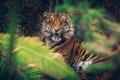 Картинка морда, тигр, заросли, злость, хищник, клыки, оскал