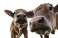 Картинка макро, коровы, морды