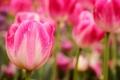 Картинка капли, цветы, природа, роса, весна, тюльпаны, розовые