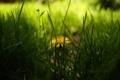 Картинка зелень, трава, желтый, одуванчик, весна, размытость