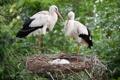 Картинка птицы, семья, гнездо, аисты
