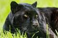 Картинка черный леопард, пантера, морда, ©Tambako The Jaguar, кошка