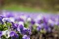 Картинка цветы, природа, незабудки