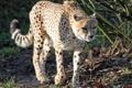 Картинка кошка, гепард, прогулка