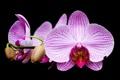 Картинка черное, Орхидея, сиреневое