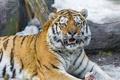 Картинка амурский тигр, морда, ©Tambako The Jaguar, клыки, тигр, взгляд, кошка