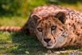 Картинка Кошки, Cheetah, Дикая кошка, Lying, Animals