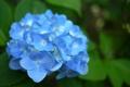 Картинка листья, цветок, гортензия, зелень, голубая