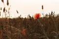 Картинка поле, цветок, растение, мак